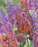Buddleia Bicolor Flower Power
