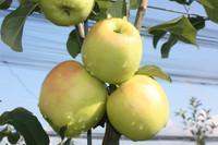 Apple Tree Bella Bionda