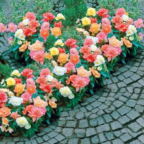 Begonia Pastel Borders