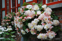 Begonia Mother's Day Spring Bulbs Dublin