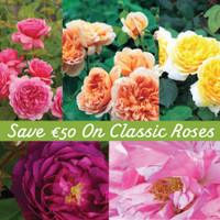 Save €50 On Classic Roses