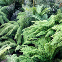 Mr Middleton's Hardy Ferns