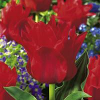 Tulip Red Hat