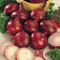 Onion Red Winter