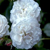 Rose Boule De Neige