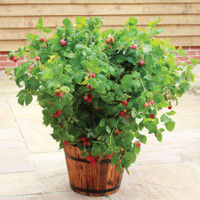 Dwarf Patio Raspberry Ruby Beauty