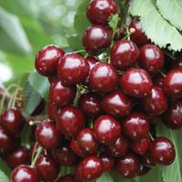 Stella Cherry Trees