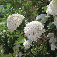 Viburnum X Burkwoodi
