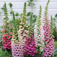 Digitalis Mixed