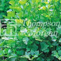 Herb Parsley Plain Leaved (Sheeps) 2
