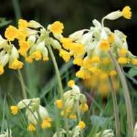 Cowslips (Primula Veris)