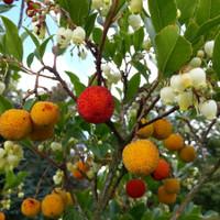 KILLARNEY STRAWBERRY TREE