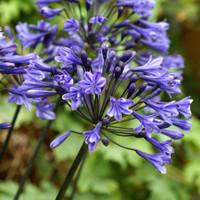 Agaphantus Blue GLobe