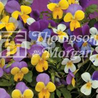 Viola Sweeties