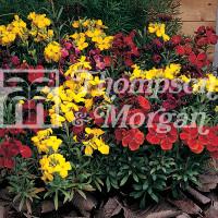 Wallflower Tom Thumb