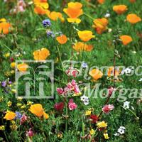 Wild Flower Californian Mix