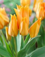 Tulip bulbs ireland
