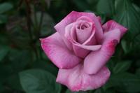 roses, garden roses, mr.middleton dublin ireland dublin 15