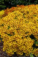 Helenium Autmnale 'Fuego' garden plants in dublin