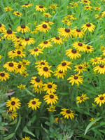 Rudbeckia Little Suzy