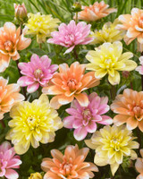 Dahlia Colour Perce