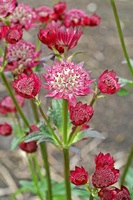 ASTRANTIA 'RUBY CLOUD'