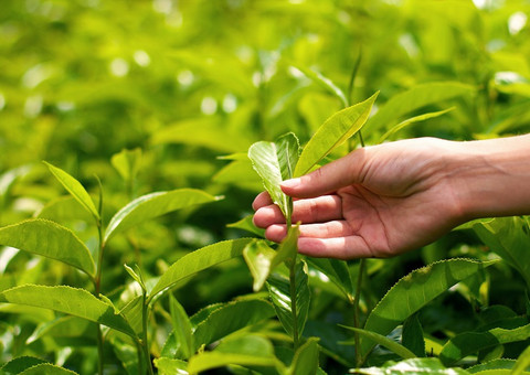 hand holding tea leaves. tea plants in Ireland for the first time.