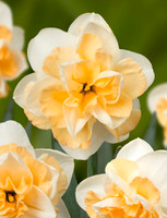 NARCISSI GOLDEN PEARL