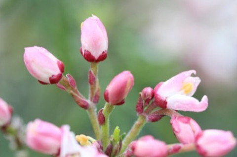 Choisya Apple Blossom