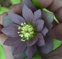 MR MIDDLETON'S HELLEBORUS DOUBLE SALTY BLUE