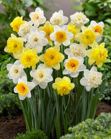 GLORIOUS DAFFODIL DAYS