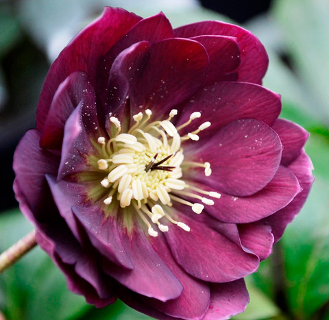 MR MIDDLETON'S HELLEBORUS DOUBLE WINTER MAGIC DOUBLE RED