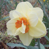 Narcissus Double Extravaganza
