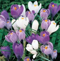 Crocus Blues Mixed