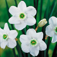 Narcissi Green Pearl