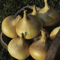 Onion Senshyu