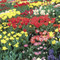 250 Super Spring Flower Bulbs Collection Mr Middleton Complete Spring Bulb Collection