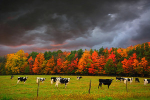 Autumn Cows
