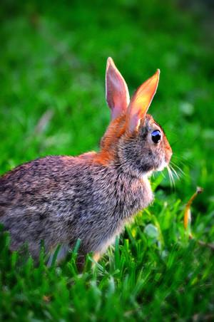 Little Bunny Fufu
