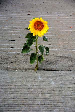 Concrete Sunflower