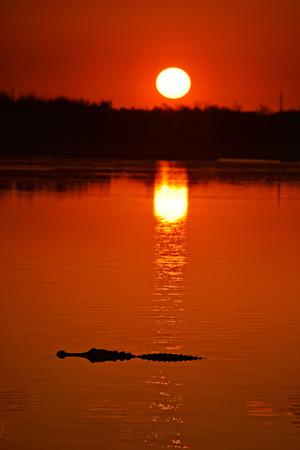 Alligator Sun