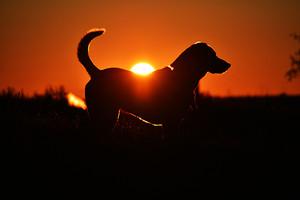 Dog Of Sunset