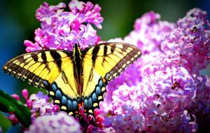 Lilac N Yellow