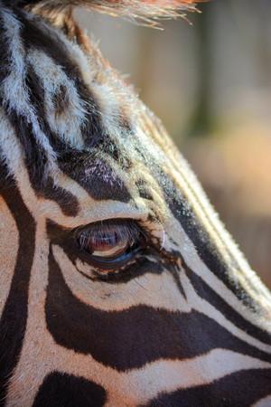 Zebra Perspective
