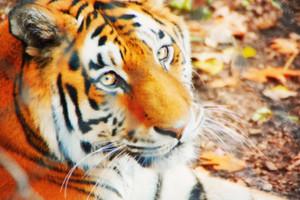Tiger Conversation