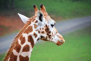Giraffe Wet