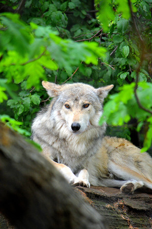 Wolf In Green