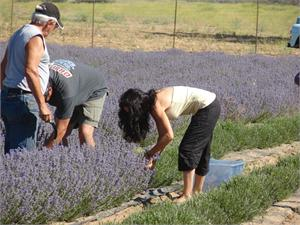 Lila's husband Kevin and Father Don all working the lavender 2010