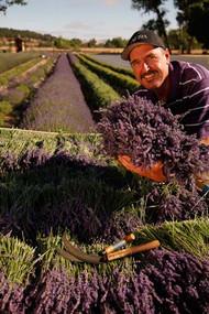 Organic Lavender Bouquets