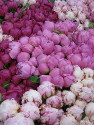 Masses of fresh Peony for Gold Coast Delivery